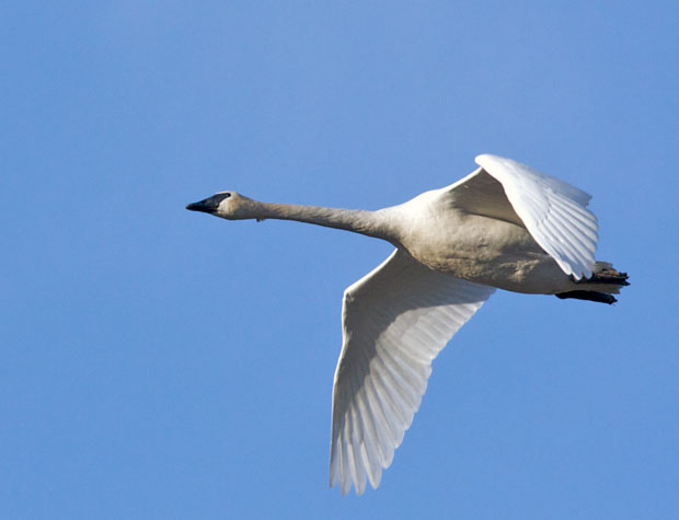 Swan Flying Over