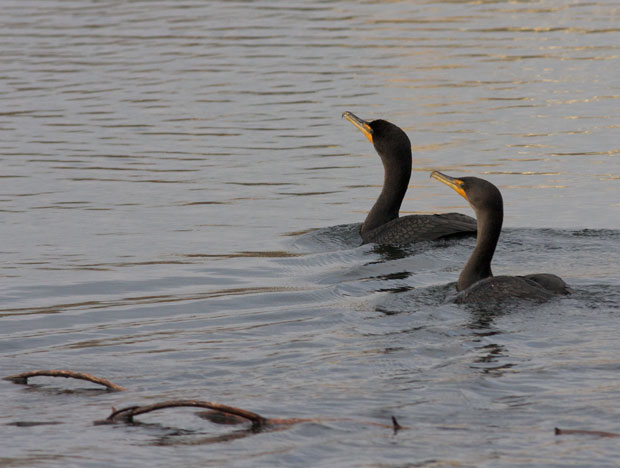 Two Cormorants
