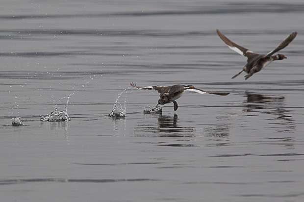 Grebes Taking Off