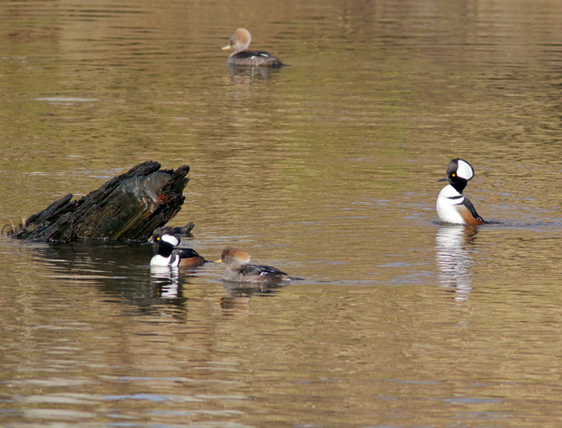 two pairs of Hooded Mergansers