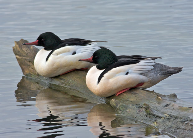 Two Male Common Mergansers