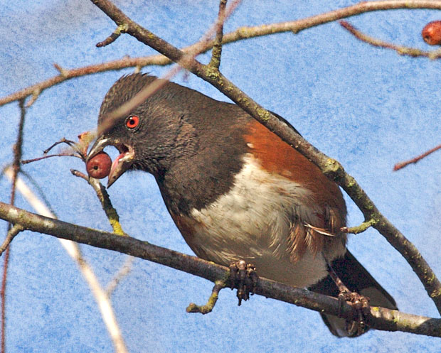 Towhee With Berry