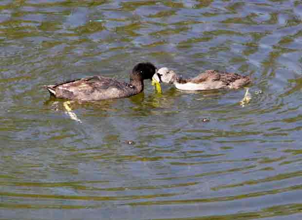 American Coot with Offspring