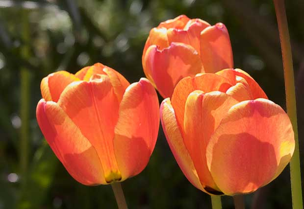 Gold and Red Tulip
