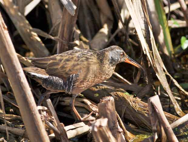 Virginia Rail wading through reeds