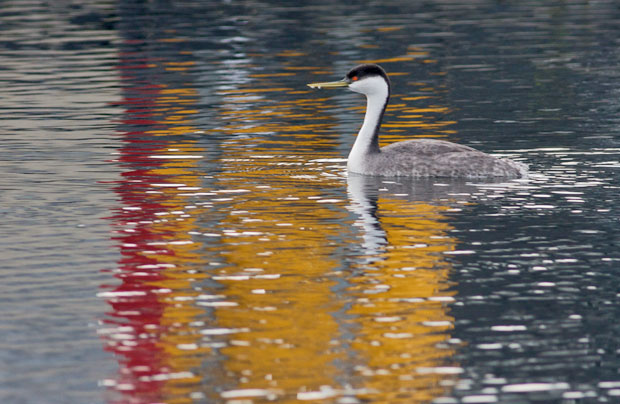 Western Grebe with Red-Orange Reflections