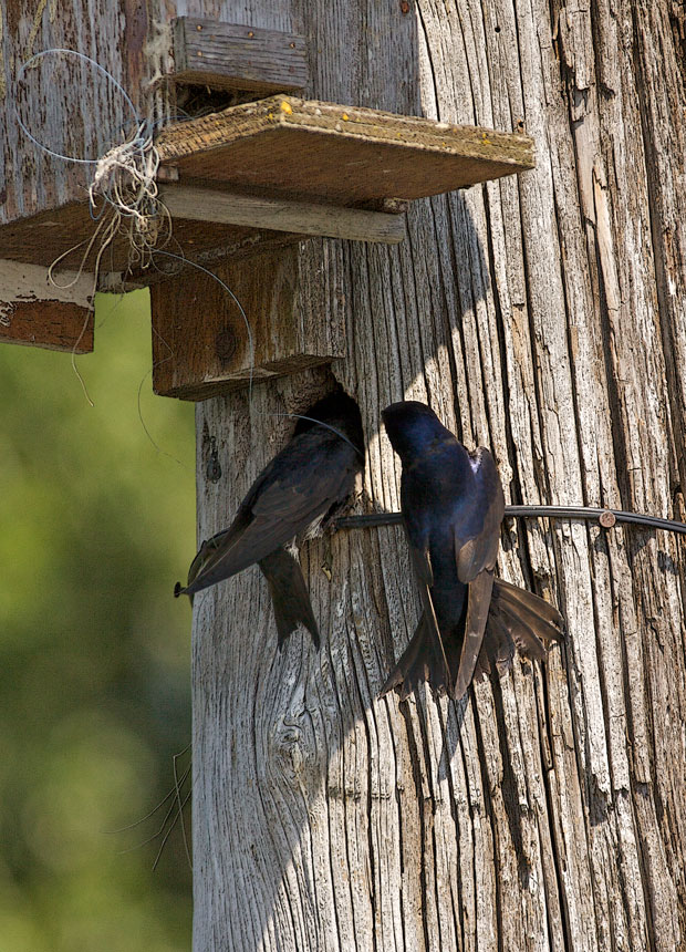 Purple Martins At Nest