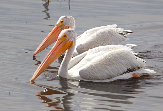 Pair of White Pelicans