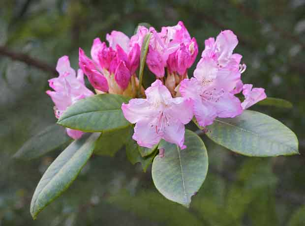 Native Rhododendron