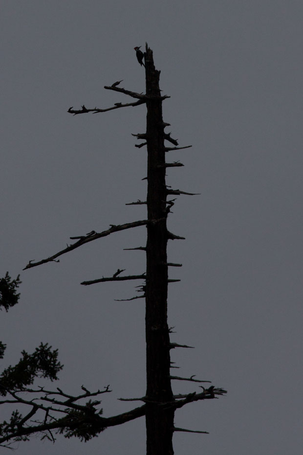 Pileated Woodpecker On Snag