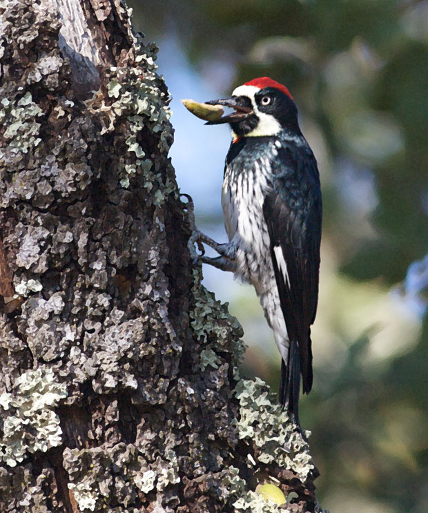 Woodpecker With Acorn