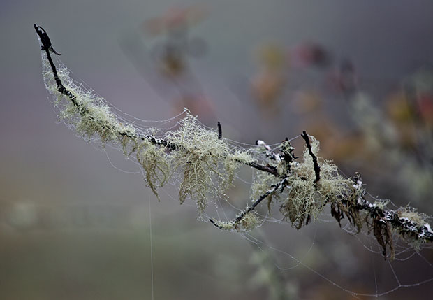 lichen-covered branches