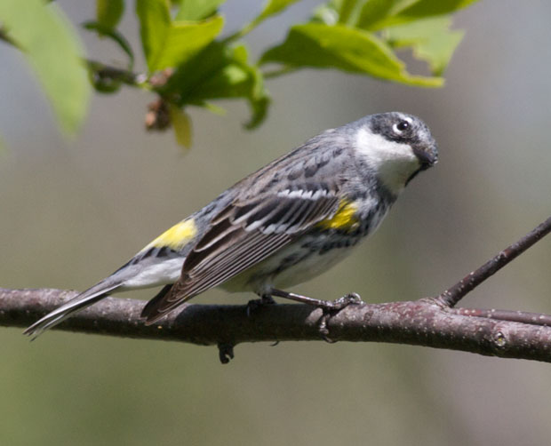 Yellow-Rumped Warbler in Breeding Colors