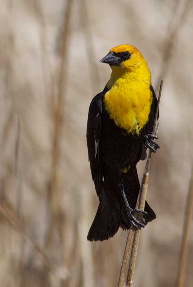 Yellowheaded Blackbird