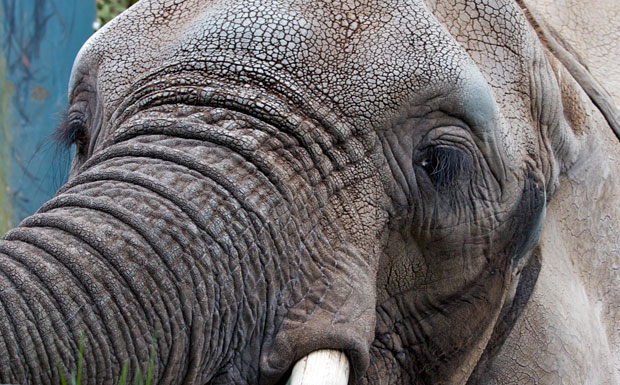 Close Up of Elephant