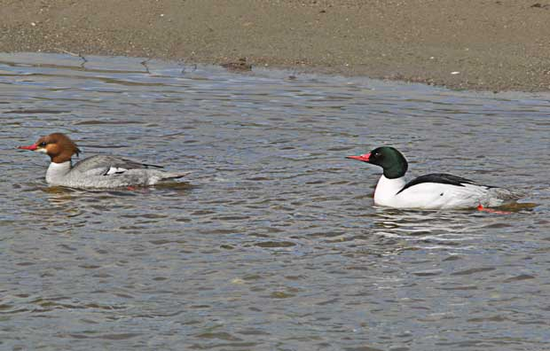 pair of Common Mergansers in breeding colors